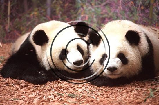 Panda two